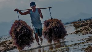 Maricultura de Algas Marinhas