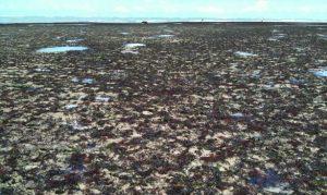 Algas Marinhas Brasileiras