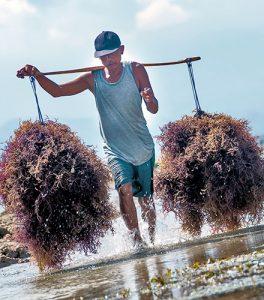 Homem carregando no ombro algas marinhas colhidas na praia