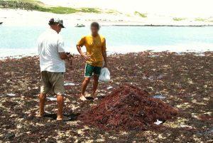 Imagem de trabalhadores na praia recolhendo algas marinhas