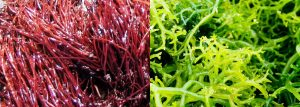 Algas marinhas diversas