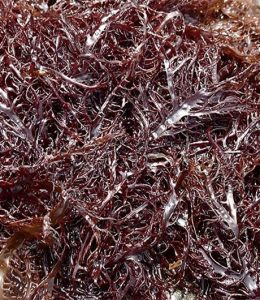 Alga Marinha Gigartina Chondracanthus teedei (Gigartina teedei)