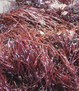 Alga Marinha Gracilaria Caudata / Gracilaria Birdiae