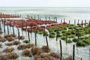 Cultura de Algas Marinhas