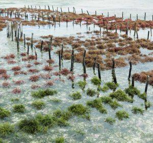 A AGAR BRASILEIRO é uma empresa nacional de cultivo, coleta, processamento e fornecimento de algas marinhas comestíveis e para produção de hidrocolóides.