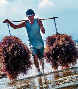 Homem carregando no ombro algas marinhas